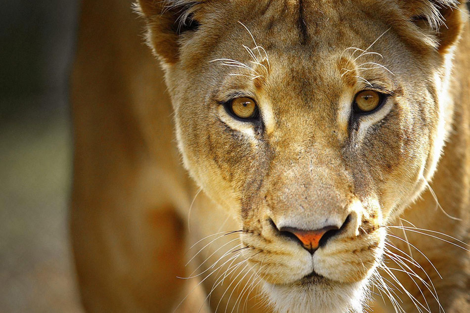 lioness head