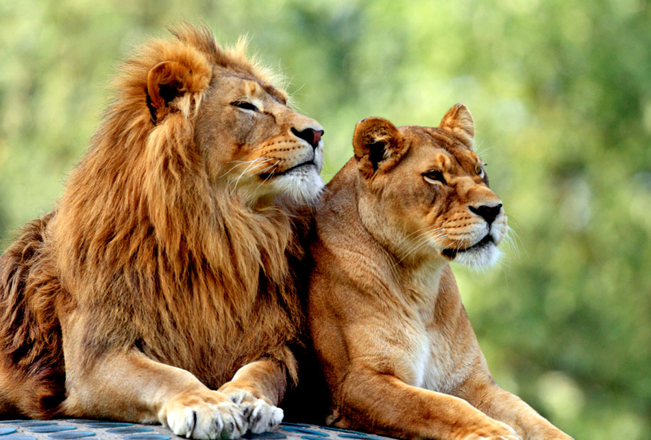 male african lion and lioness