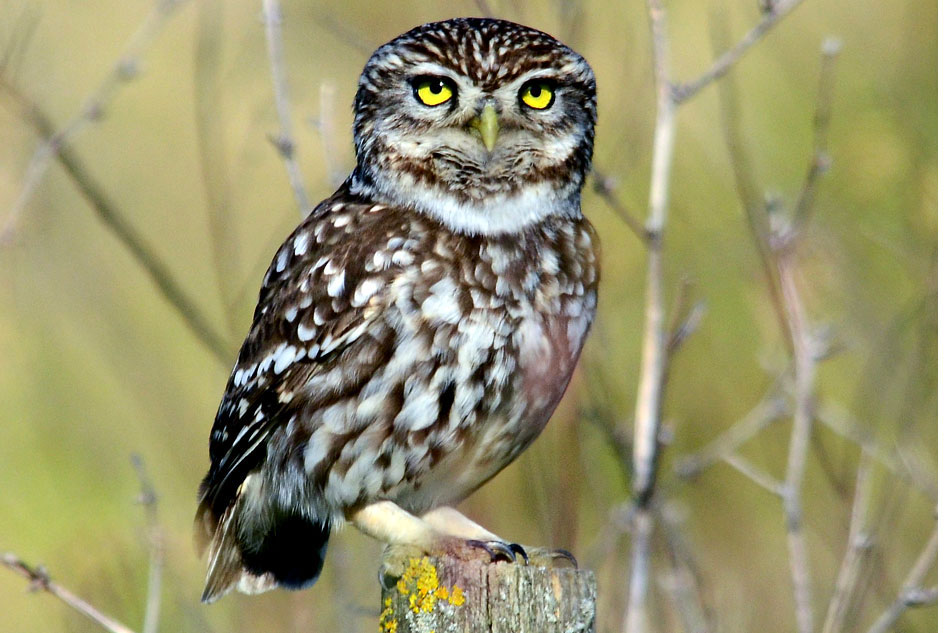 little owl on a fence post