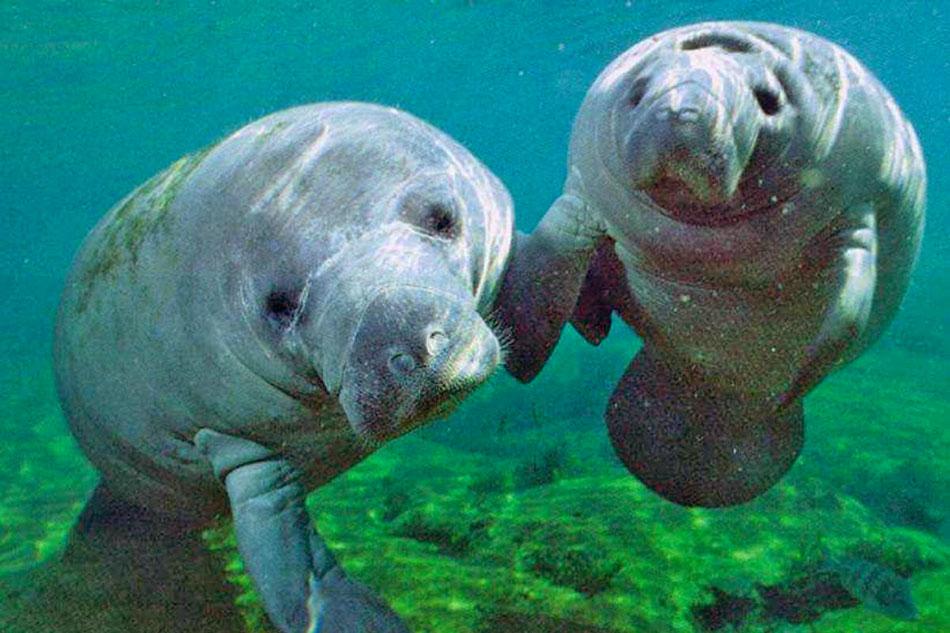 Manatees underwater