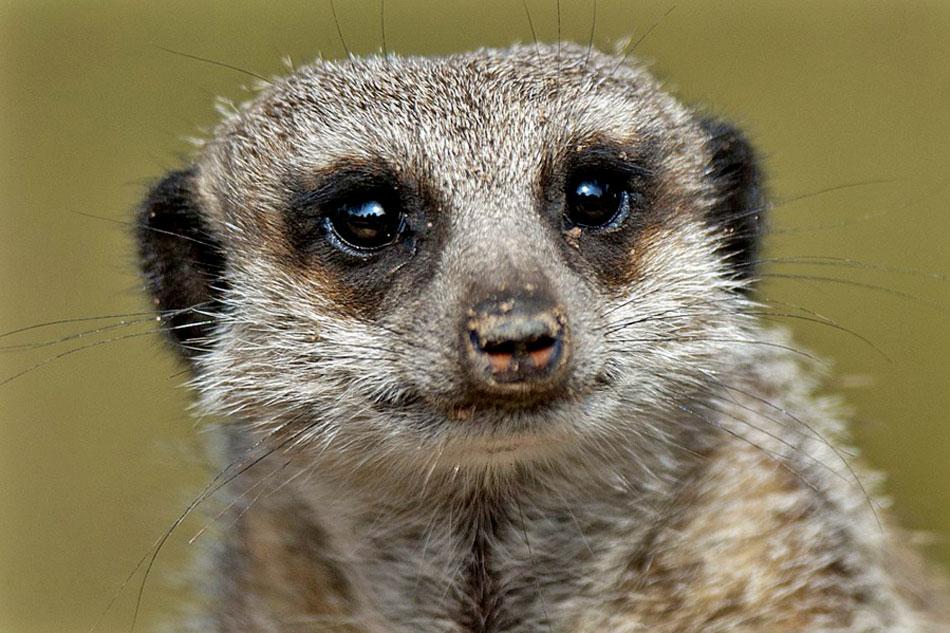 head of a meerkat