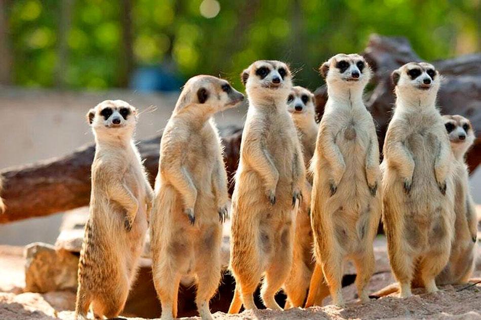 meerkats standing in line
