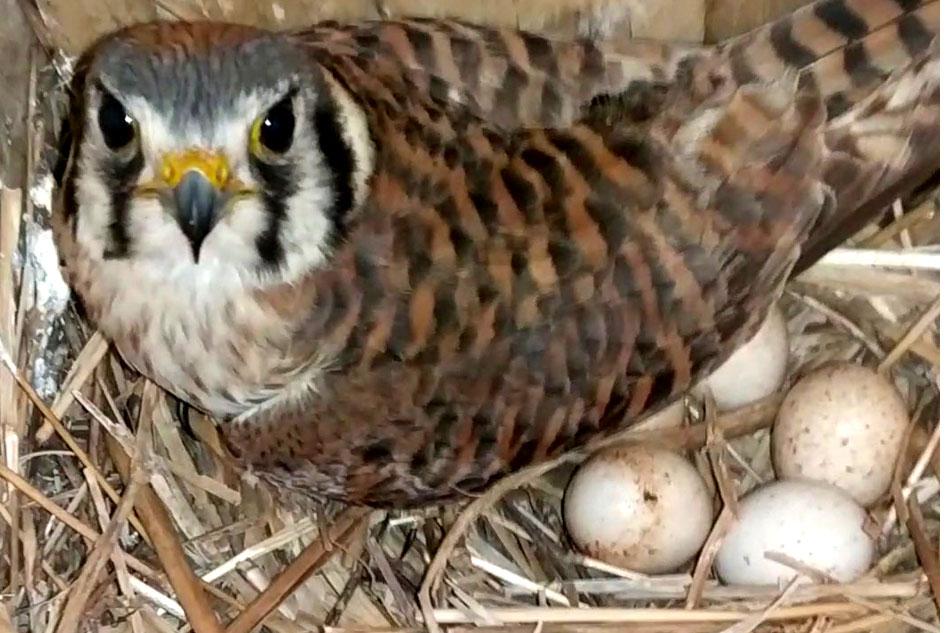 nesting kestrel with eggs