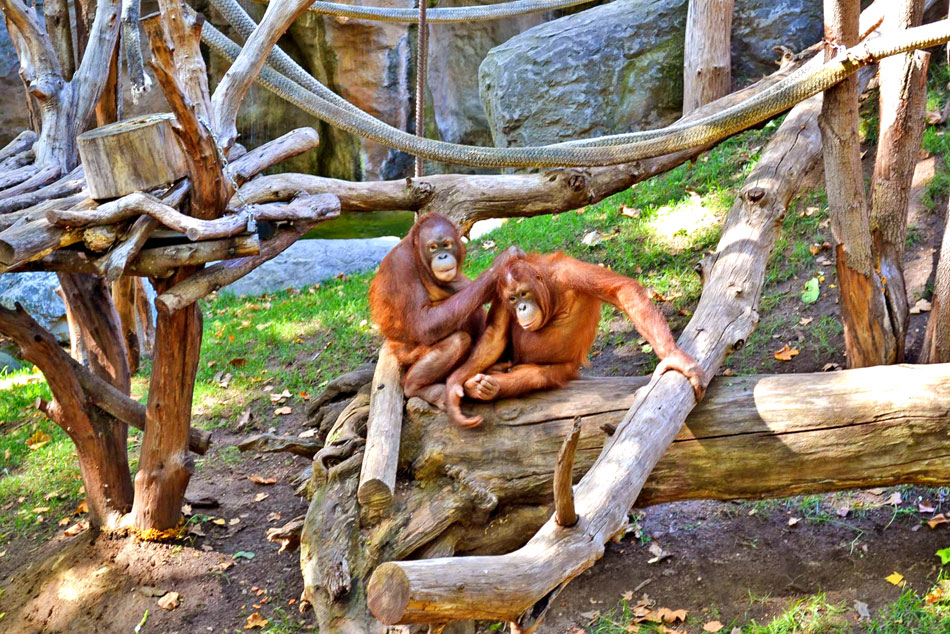 orangutans at budapest zoo