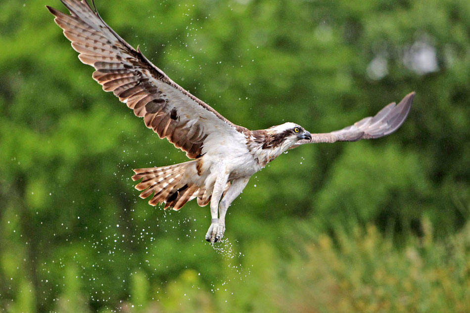Live webcam of Ospreys breeding