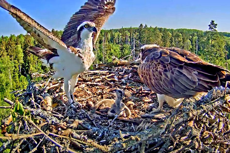 ospreys on a nest