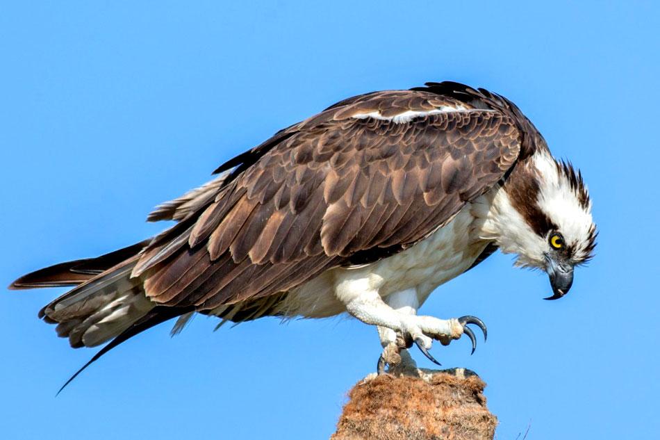 Ospreys Breeding in Australia
