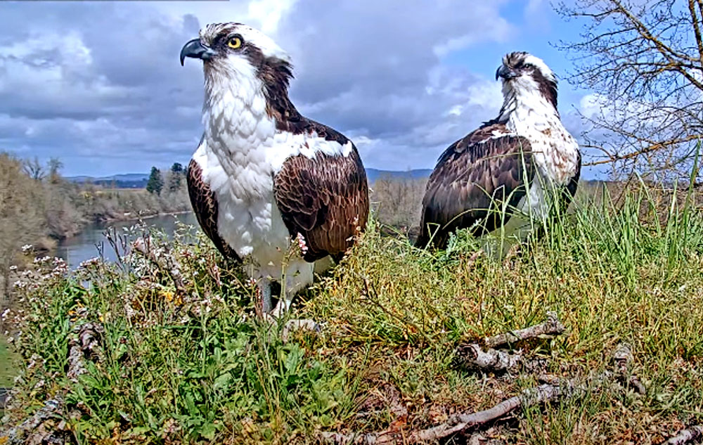two ospreys sitting on a nest