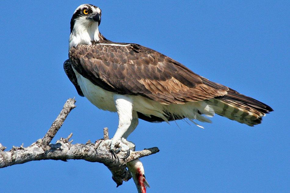 Osprey on a dead tree branch