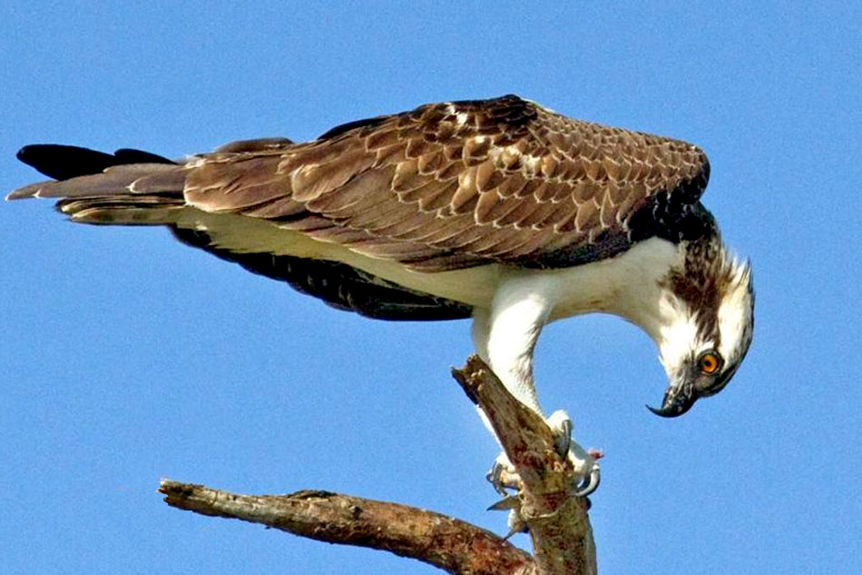 osprey on a dead tree