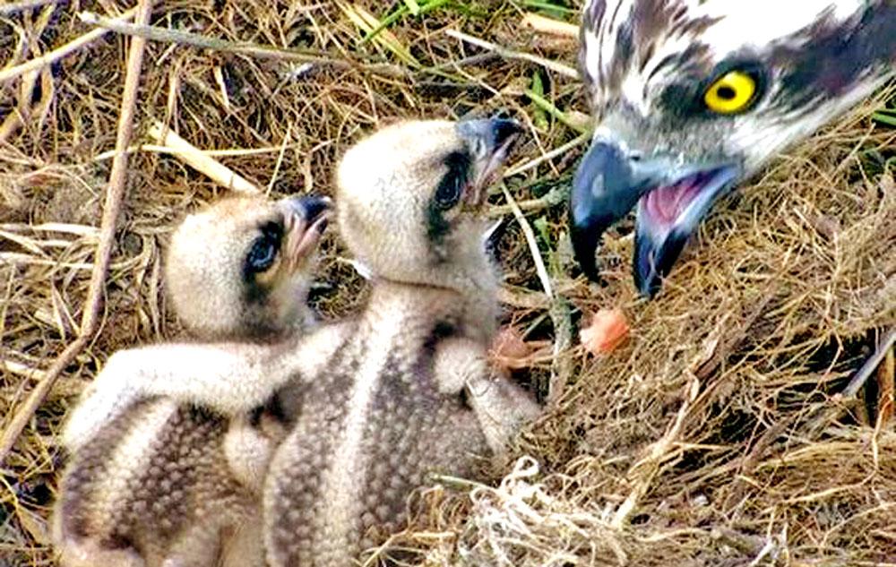 osprey chicks being fed
