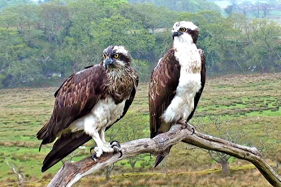 ospreys in wales