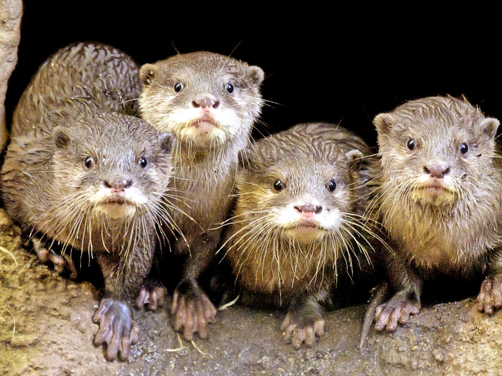 otters looking outside