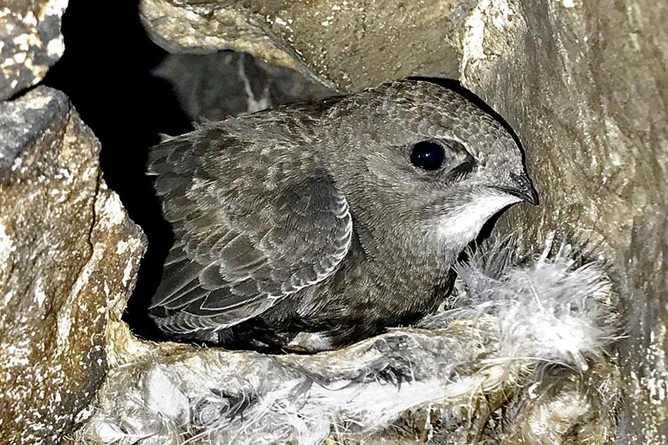 pallid swift nesting