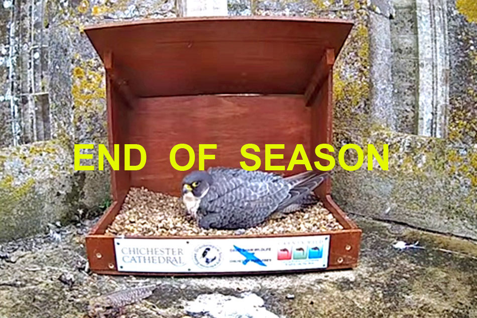 peregrine falcon on a nest