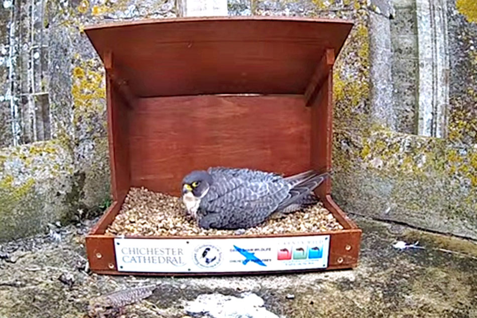 peregrine falcon on a nest