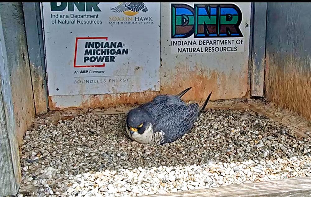 peregrine falcon in a nest box