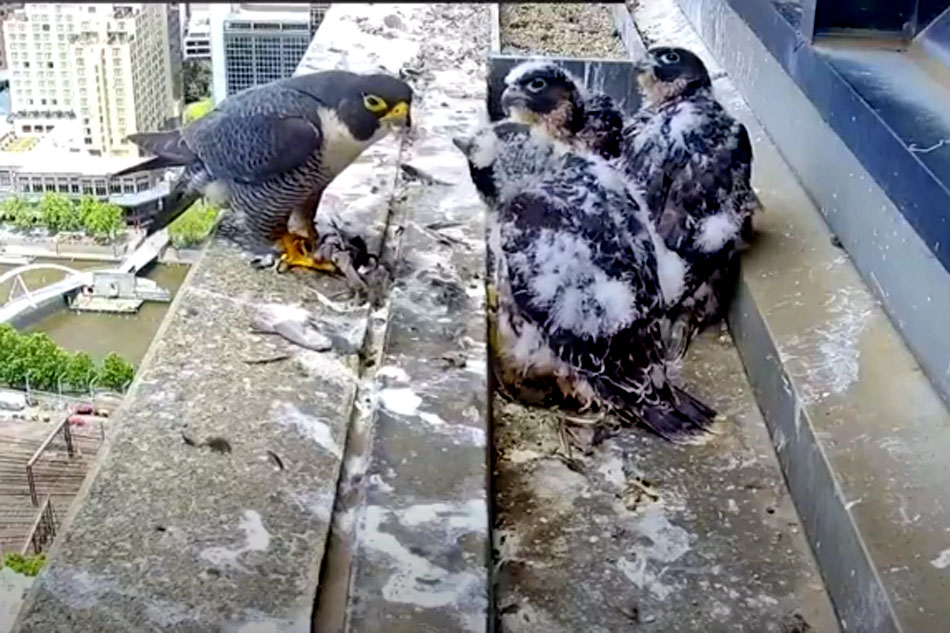 peregrine falcon nest in melbourne