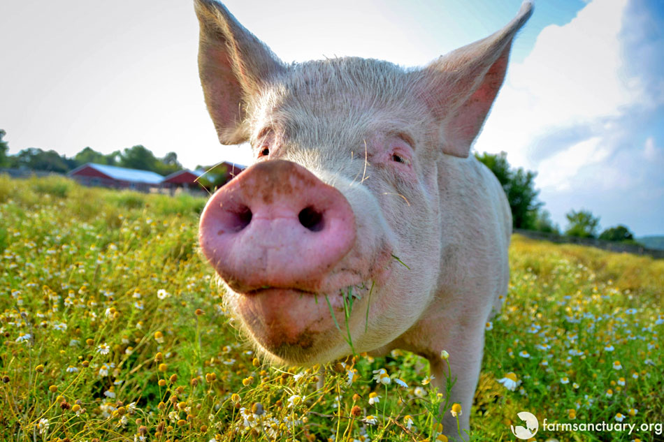 happy pig looking at the camera