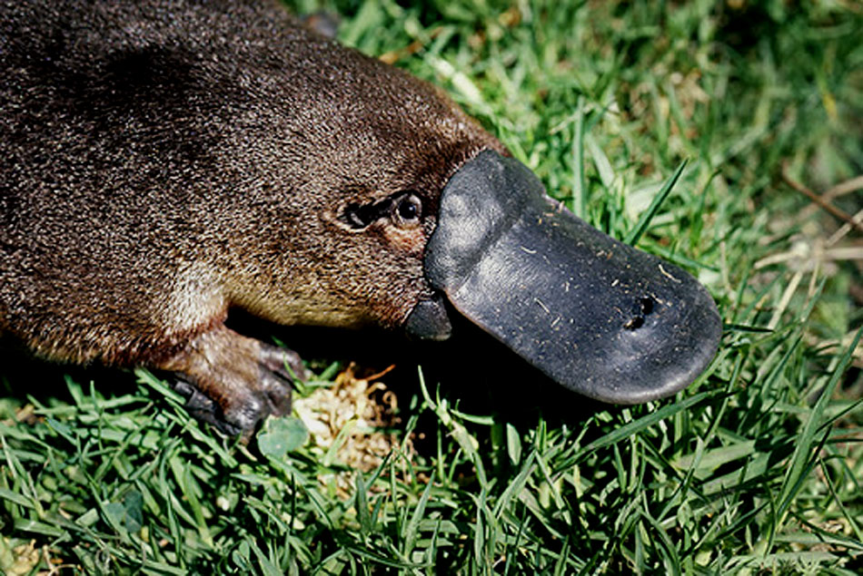 platypus head