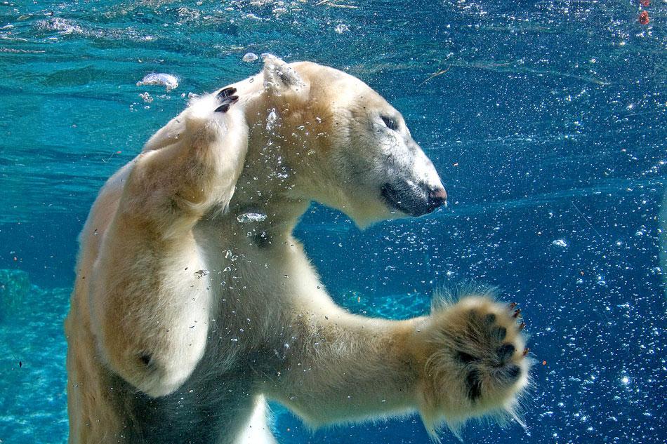 LIVE POLAR BEAR WEBCAM