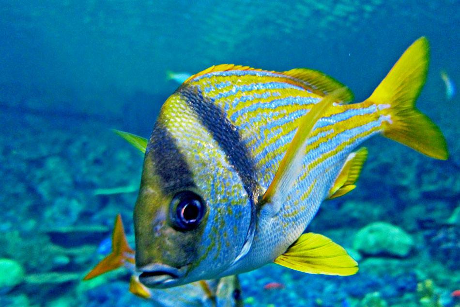 porkfish underwater