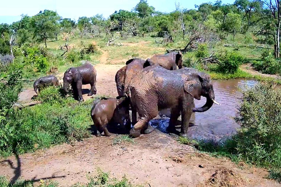 african elephants at pridelands conservancy