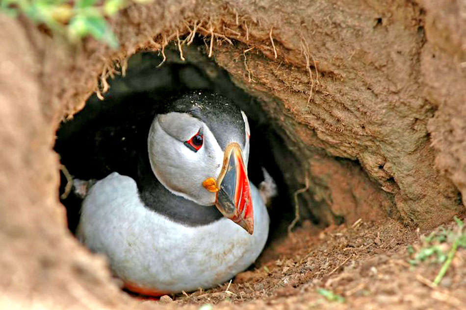 puffin in a burrow