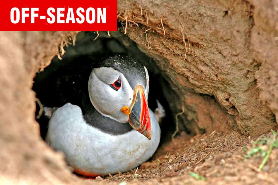 puffin in a burrow