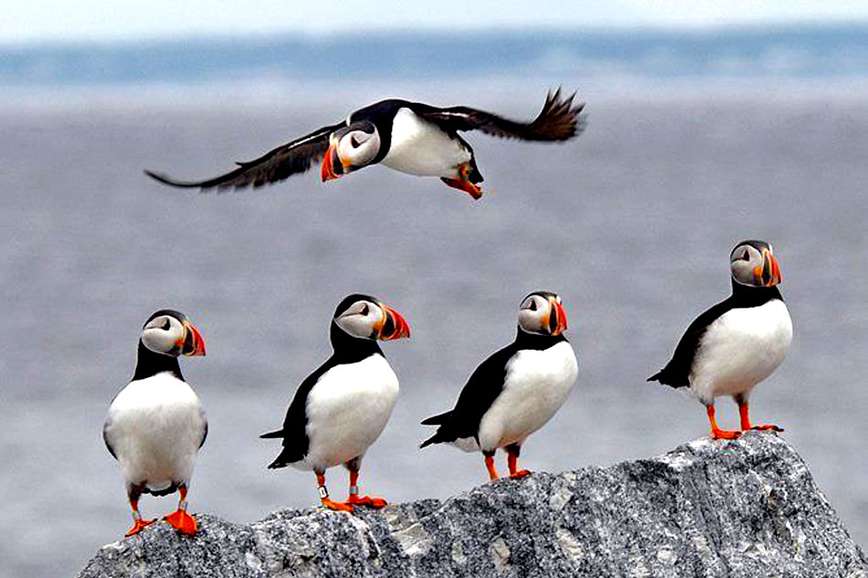 puffins standing in a line