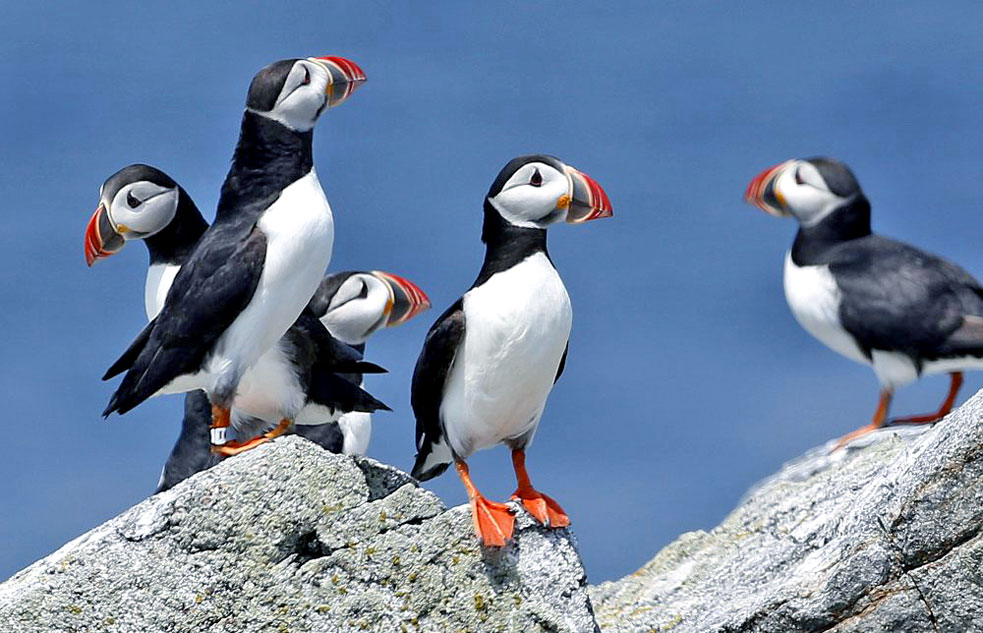 group of puffins on rocks