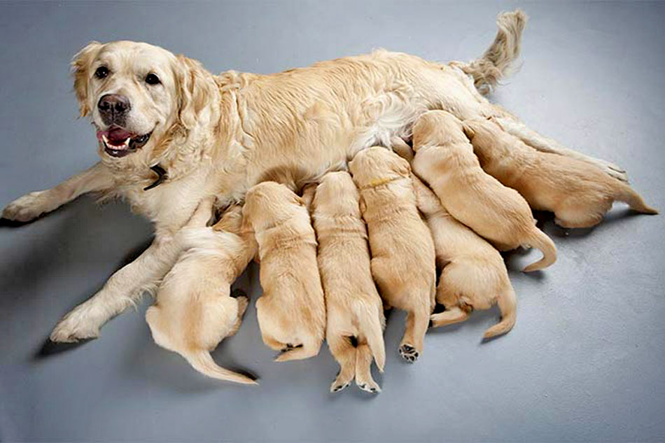 labrador mother and puppies