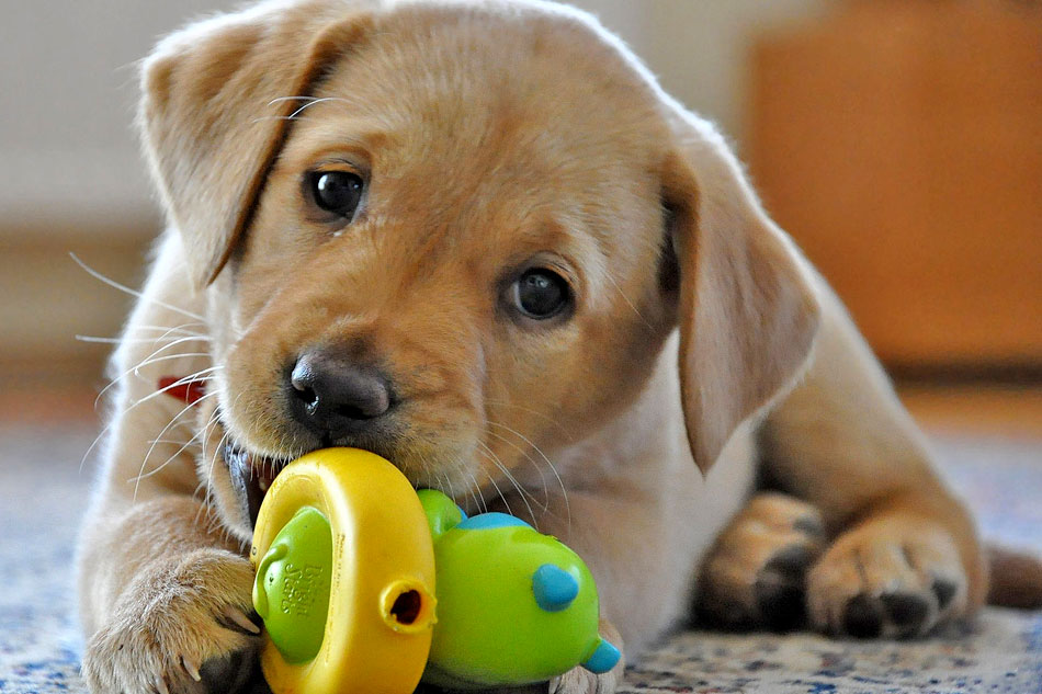 golden retriever puppy with toy