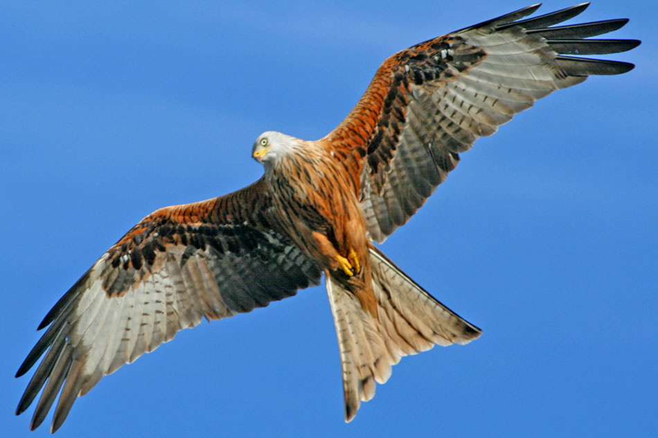 red tailed kite in flight