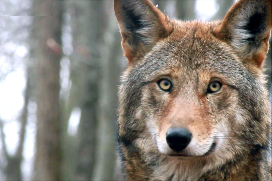 face of a red wolf