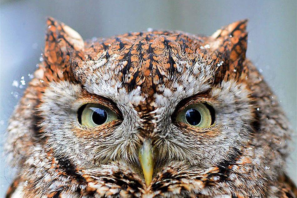 head of a screech owl