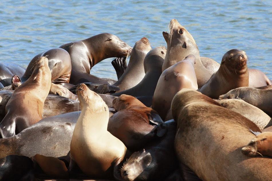 sea lions on hanson island