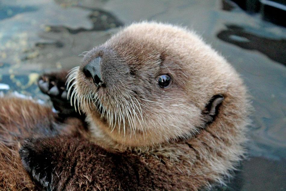 a sea otters head