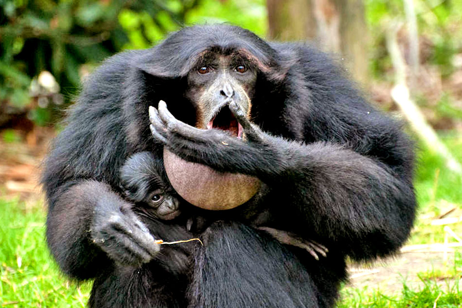 siamang ape and baby