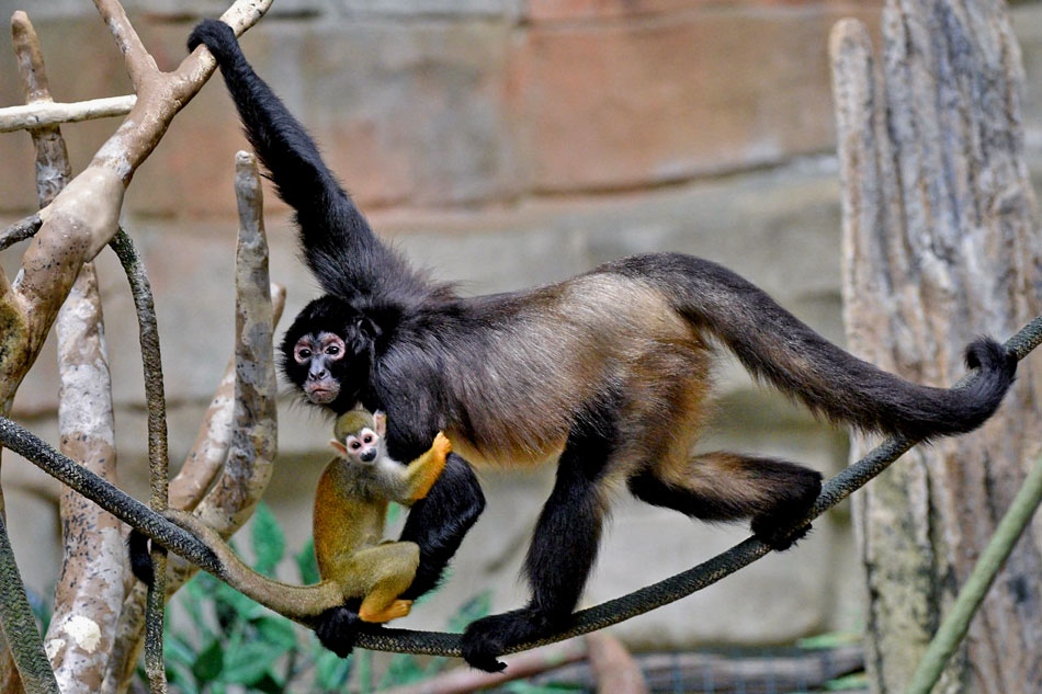 spider monkeyr