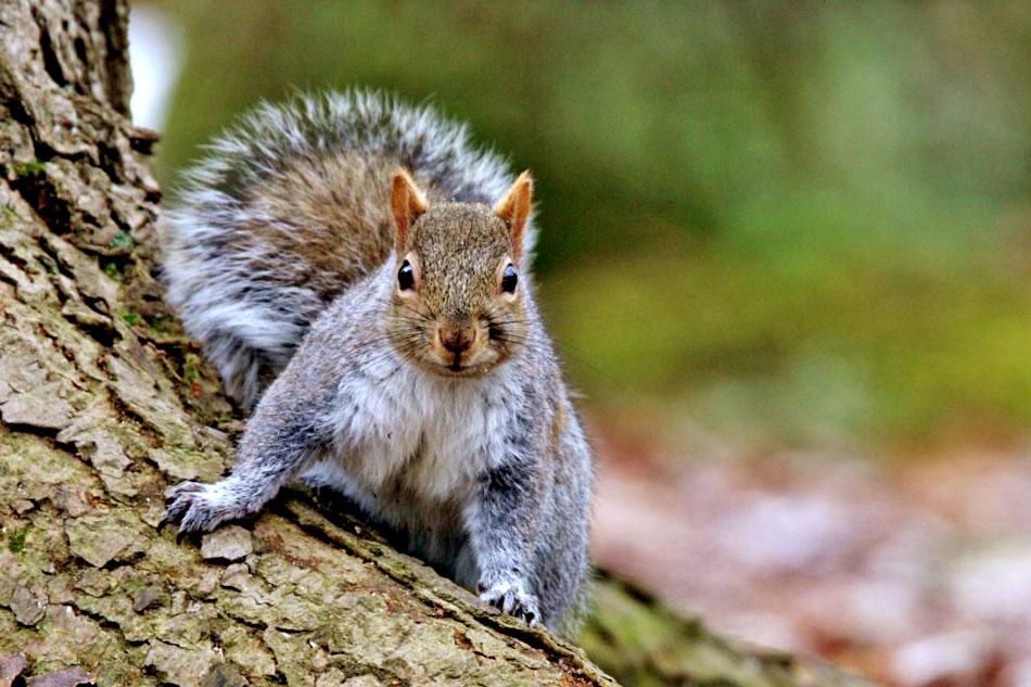 grey squirrel on a tree