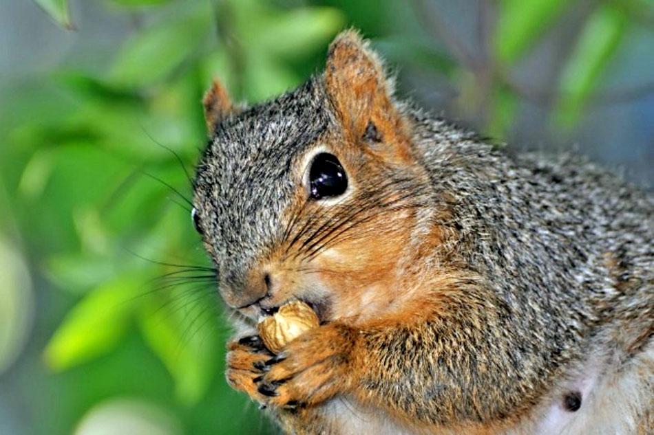 Red Squirrel on a Feeder