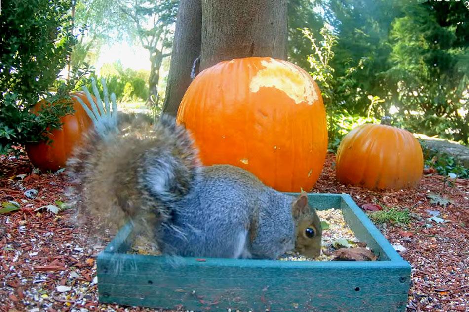 grey squirrel at a feeder