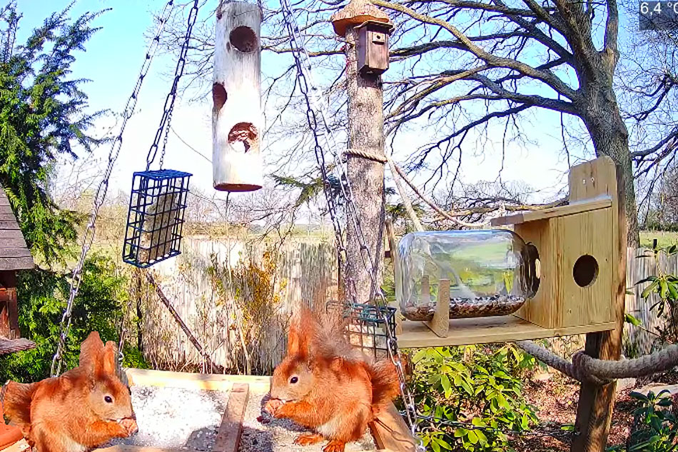 red squirrels in germany
