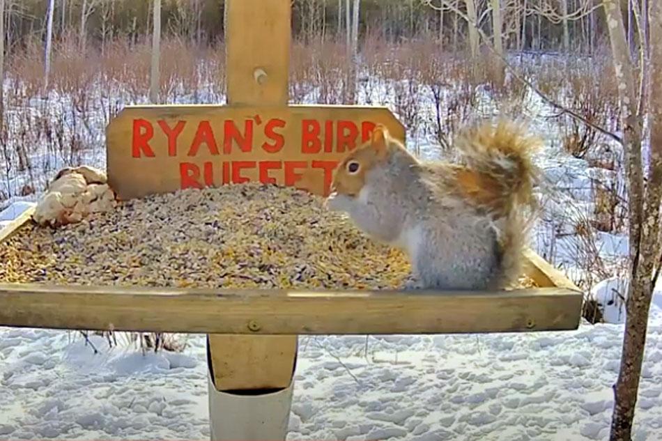 squirrel feeding on nuts