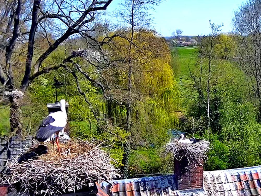 storks in Gelderland