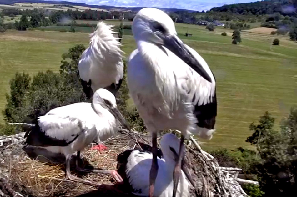 european storks on a nest in germany