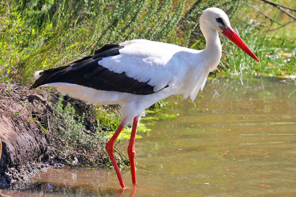 White Stork Wading in Water