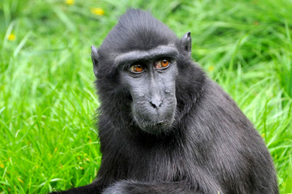 suluwesi crested macaque