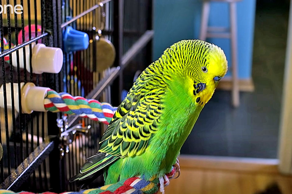 disco the talking budgie